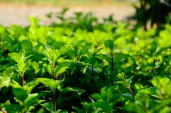 Believe that all of you must have heard the name? Mint leaves, reused in many industries can food and cosmetics. Mint leaves may seem as foreign to the local royalty free stock photography