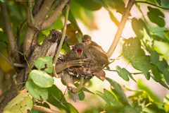 They believe they can fly. Juvenile birds,streak eared bulbul pycnonotus blanfordi perching on the nest edge opening mouth widely and ready to leave nest stock photo