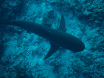 Belize Blue Hole Shark Royalty Free Stock Photos