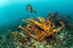 Belize dykapparatdykning royaltyfri fotografi
