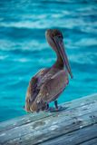 Belize Pelican Royalty Free Stock Images