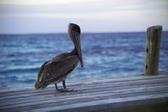 belize pelikan fotografering för bildbyråer