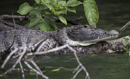 Belize River Crocodile. A crocodile lies on a tree branch in the water sunning as it waits for its next meal Royalty Free Stock Images