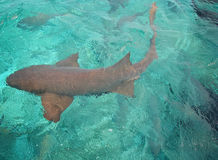 Belize Sharks, Hol Chan Reserve Royalty Free Stock Photos