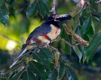 Belizean Aracari Royalty Free Stock Photo
