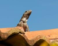 Belizean Iguana Stock Image