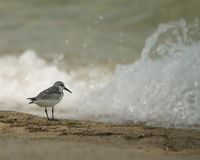 Belizean Sanderling Stock Photos