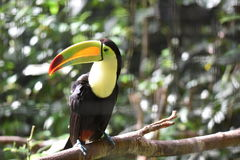 Belizean Toucan. Sitting on branch in zoo stock photos