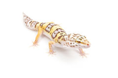 Bell Albino Leopard Gecko Stock Photo