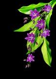 Bell-Blume lokalisiert auf schwarzem Hintergrund Stockbild