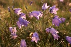 Bell-Blume mit Morgentau Lizenzfreies Stockbild