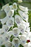 Bell-Blumen Stockbild