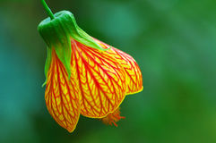 Bell Flower or red veined abutilon stock images