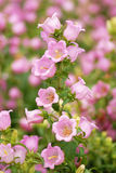 Bell flower. Pink bell flowers in the garden background royalty free stock image