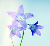 Bell flower on blue Royalty Free Stock Photography
