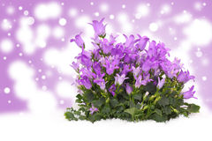 Bell-flower before Bokeh Stock Photos