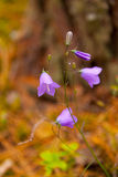 Bell flower or Campanula Closeup Royalty Free Stock Photography
