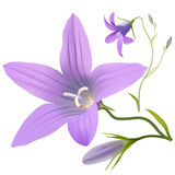 Bell flower - Campanula patula. Hand drawn vector illustration of a wildflower in realistic style, on white background Royalty Free Stock Image