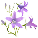 Bell flower - Campanula patula. Hand drawn vector illustration of a wildflower in realistic style, on white background Royalty Free Stock Photos
