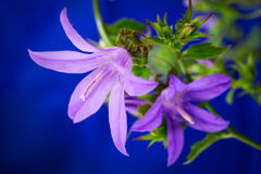Bell flower Royalty Free Stock Photography