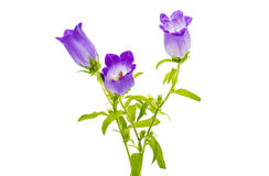 Bell flower isolated Stock Photos