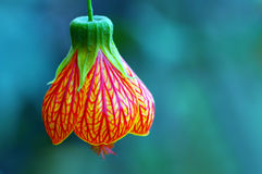 Bell Flower Or Red Veined Abutilon Royalty Free Stock Image