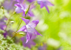 Bell flowers. Summer bell flowers on green background Stock Photo