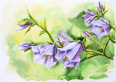 Bell flowers. Watercolor painting of the bell flowers Royalty Free Stock Photos