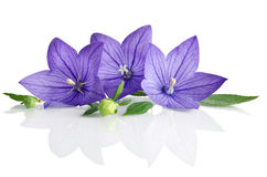 Bell flowers on white  background Royalty Free Stock Photo
