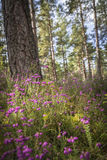 Bell Heather Erica cinerea in Scotland. Bell Heather Erica cinerea in Caledonian forest, Scotland royalty free stock photography