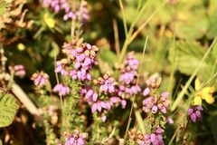 Bell heathers on English heathland in summer Stock Image