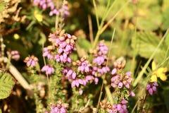 Bell-Heide auf englischer Heide im Sommer Stockbild