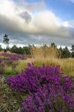 Bell-Heide und -gräser lizenzfreies stockfoto