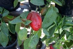 Bell pepper, Capsicum annuum Stock Photo