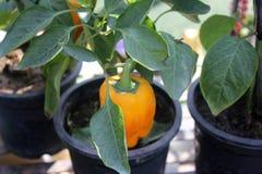 Bell pepper, Capsicum annuum Stock Images
