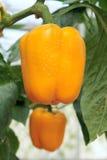 Bell pepper Stock Image