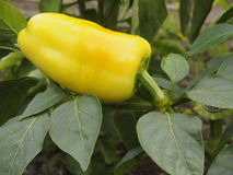 Bell pepper on garden bed Royalty Free Stock Photo