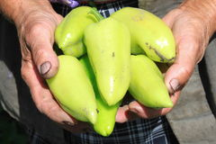 Bell pepper in the hands of an elderly farmer Royalty Free Stock Image