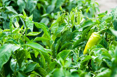 Bell pepper plant Royalty Free Stock Image