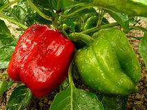 Bell pepper plant Stock Image