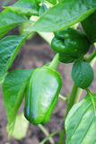 Bell pepper plant with ripening fruits Royalty Free Stock Photo