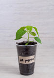 Bell pepper seedling in plastic container on lighten background Royalty Free Stock Images