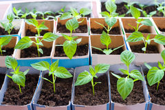 Bell pepper seedlings Royalty Free Stock Photos
