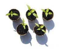 Bell Pepper Seedlings Stock Images