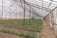 Bell Pepper Seedlings Royalty Free Stock Images
