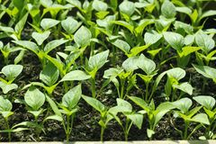 Bell pepper seedlings before planting in soil Stock Photos
