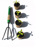 Bell pepper seedlings with rake Stock Image
