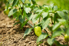 Bell peppers in a greenhouse Royalty Free Stock Photography