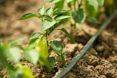 Bell peppers in a greenhouse Royalty Free Stock Photos