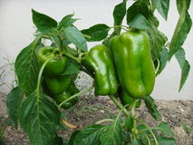 Bell Peppers. Grown at home. Summer is good time to grow them Stock Image